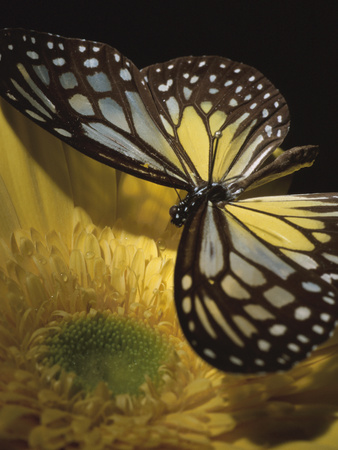 Beautiful Black and Yellow Butterfly on Blooming Yellow Flower Photographic Print