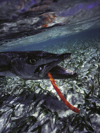 Barracuda, Tube Lure Photographic Print by Timothy O'Keefe