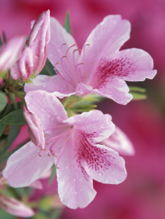 Azalea Blossom, Charleston, South Carolina, USA Photographic Print