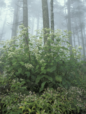Snakeroot and Asters, Great Smoky Mountains National Park, Tennessee, USA Photographic Print by Adam Jones