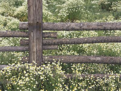 Wild Chamomile Around Log Fence, Colorado, USA Photographic Print by Adam Jones