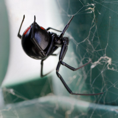 A Female Black Widow Spider Photographic Print