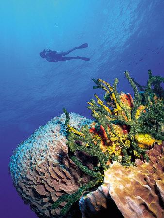 Scuba Diver Near Coral Wall, Bahamas Photographic Print by Shirley Vanderbilt