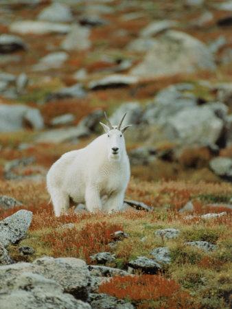 Mountain Goat (Oreamnos Montanus) Photographic Print by Elizabeth DeLaney
