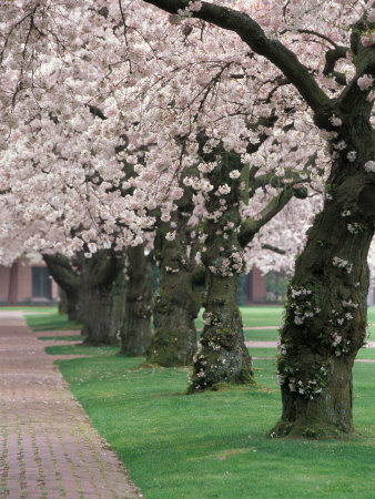 Cherry Blossoms at the University of Washington, Seattle, Washington, USA Photographic Print by William Sutton