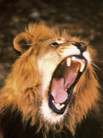 Lion Roaring in the Wild Photographic Print by John Dominis