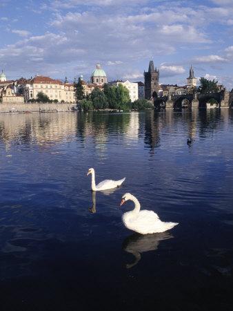 Swans, River Vltava, Prague, Czech Republic Photographic Print by Dan Gair