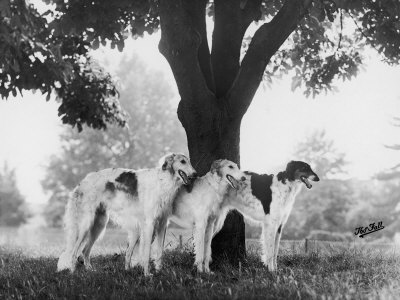 Three Mythe Borzois Belonging to Miss E.M. Robinson Standing Under a Tree Photographic Print by Thomas Fall