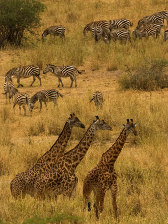 Three Masai Giraffe in Foreground with a Herd of Common Zebras Behind Photographic Print by Roy Toft