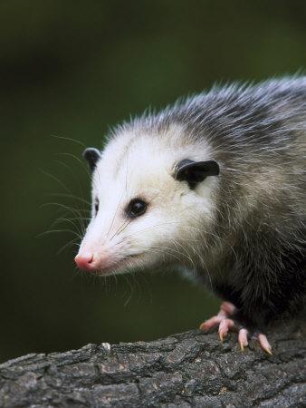 Opossum, Close-up Portrait, USA Photographic Print by Mark Hamblin