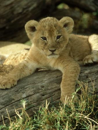 Lion, Panthera Leo 6 Week Old Cub Masai Mara, Kenya Photographic Print by Adam Jones