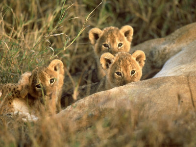 Trio of Six Week Old Lion Cubs Looking Over Sleeping Mother, Masai Mara National Reserve Kenya Stampa fotografica di Adam Jones