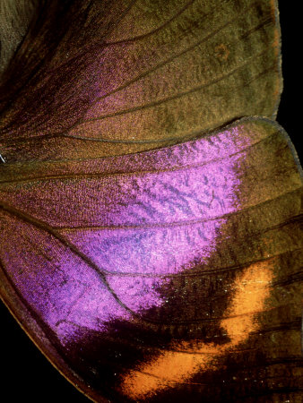 Kallimi Rumia Kassaiensis, Close up of Wing, Uganda Photographic Print by John & Jane Woolmer
