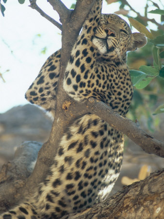Leopard, Resting in Tree During Heat of the Day, Botswana Photographic Print by Richard Packwood