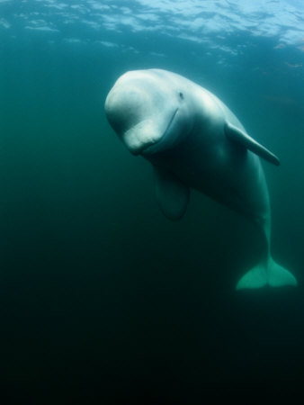 Beluga Whale, St. Lawrence River Photographic Print by Nick Caloyianis