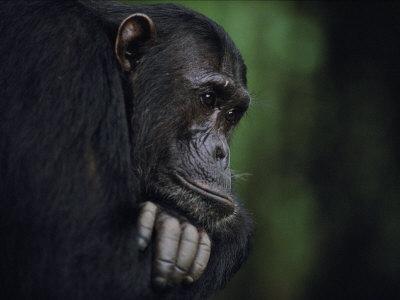Portrait of a Male Chimpanzee Photographic Print by Michael K. Nichols