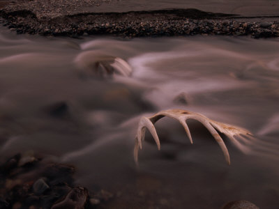 The Alsek River in Alaska Gently Flows over a Moose Skull Photographic Print by Barry Tessman