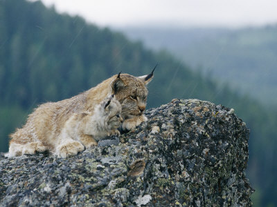 A Captive Female Lynx and Her Tiny Cub Survey the Surrounding Countryside Photographic Print by Norbert Rosing