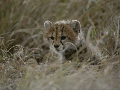 Close View of a Juvenile Cheetah in a Grassy Landscape Photographic Print by Roy Toft