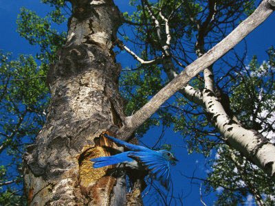 Bluebird Flies from its Nest in a Vacated Northern Flicker Hole Photographic Print by Michael S. Quinton