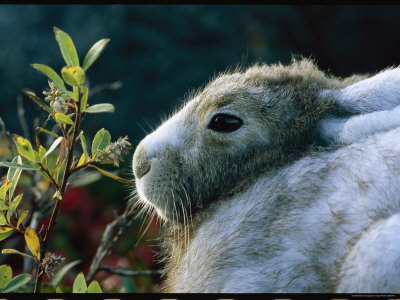 Portrait of a Snowshoe Hare in Coat Color Transition Photographic Print