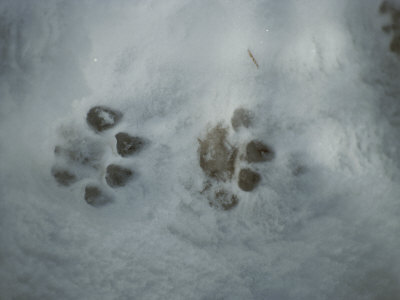 Mountain Lion, Felis Concolor, Tracks in Snow Photographic Print by Jim And Jamie Dutcher