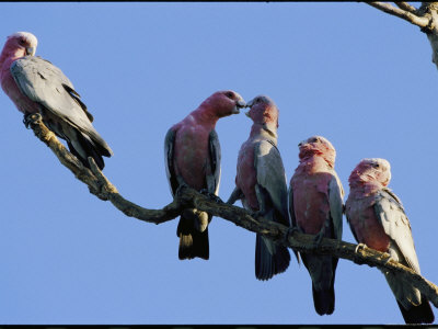 A Row of Galah Cockatoos Perched on a Small Tree Branch Photographic Print by Nicole Duplaix