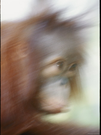 A Motion-Blurred Portrait of a Young Orangutan Photographie