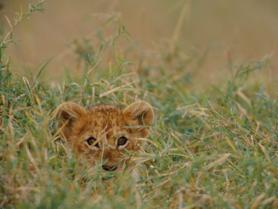 An African Lion Cub Peers Through the Grass Stampa fotografica di Nichols, Michael