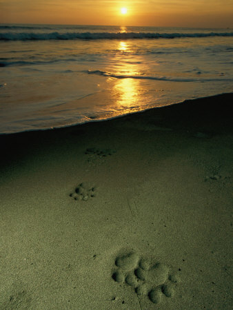 Jaguar Paw Prints in the Sand Photographic Print by Steve Winter