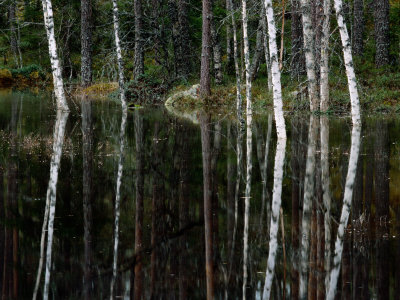 A Stream at High Water in a Woodland of Mixed Birches and Evergreens Photographic Print by Mattias Klum
