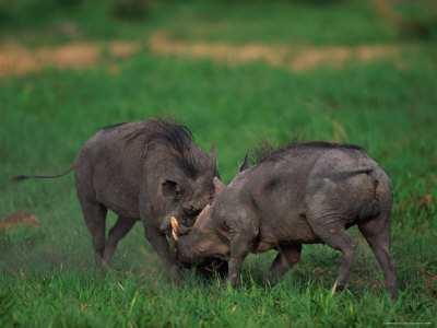 Warthogs Fighting Lámina fotográfica