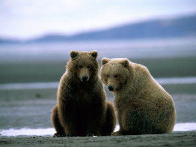 Grizzly Bear Cubs Pose for the Camera Photographic Print by Joel Sartore