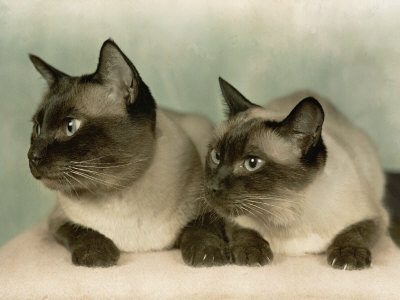Siamese Cats Photographic Print at AllPosters.com