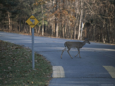A Wild Deer Mistakenly Crosses by a Sign Saying Kangaroo Crossing Photographic Print