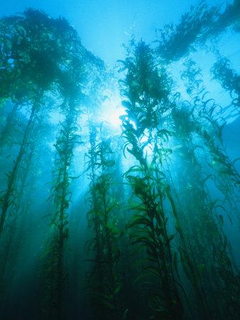 Kelp Forest Underwater, Tasmania, Australia Photographic Print by Joe Stancampiano