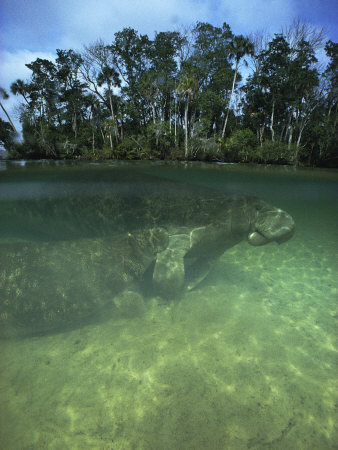 Florida Manatee, Crystal River, Florida Photographic Print by Joe Stancampiano