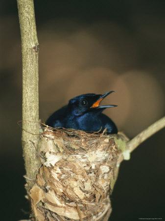 A Male Victorias Riflebird in Nest, Cape York Peninsula, Queensland Photographic Print by Joe Stancampiano