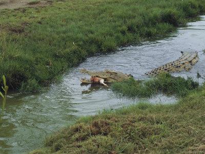 Saltwater Crocodile Farm, Queensland, Australia Photographic Print by Joe Stancampiano
