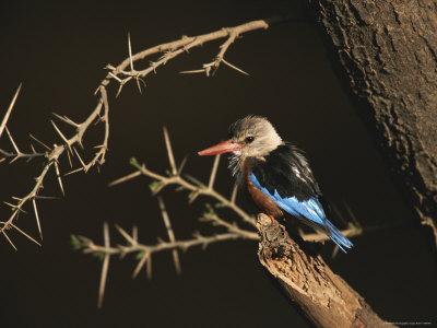 A Gray-Headed Kingfisher Perched on a Tree Branch Photographic Print by Roy Toft