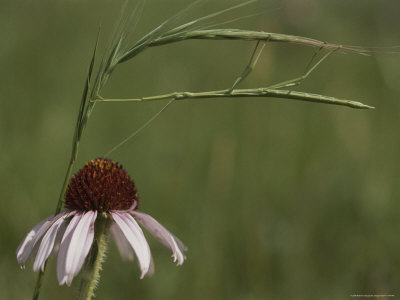 A Walking Stick Insect Balances on a Blade of Grass over a Coneflower Photographie