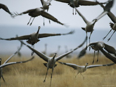 Common Cranes Taking Flight from a Grassy Field Photographie