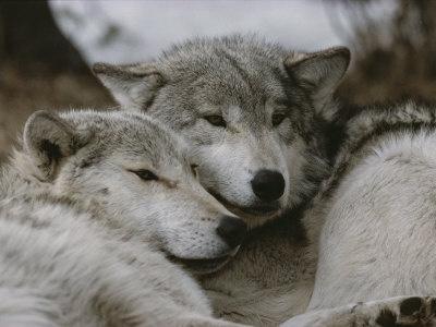 Napping Gray Wolves Photographie