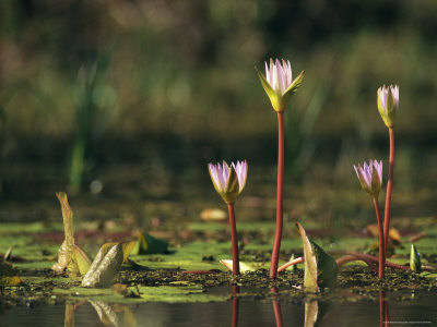 Water Lily Flower Emerging from a Pond Photographic Print by Klaus Nigge