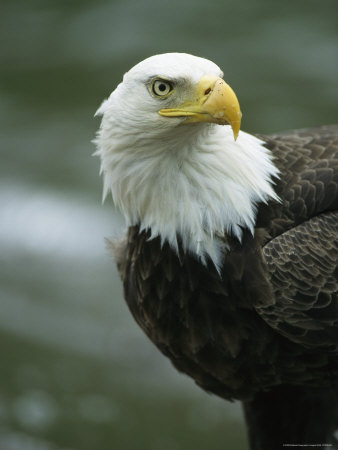 Close View of an American Bald Eagle Photographic Print by Tom Murphy