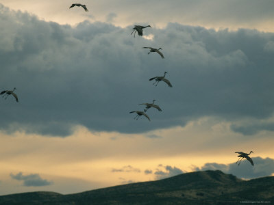 Flock of Sandhill Cranes Coming in for a Landing Photographie