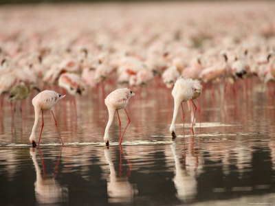 A Flock of Lesser Flamingos Feed in Lake Nakuru (Phoeniconaias Minor) Photographic Print by Roy Toft
