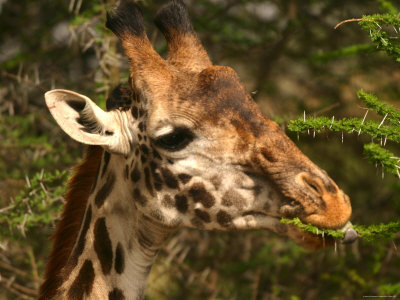 Close-up of a Masai Giraffe Nibbling on an Acacia Tree (Giraffa Camelopardalis) Photographic Print by Roy Toft
