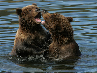 Two Alaskan Brown Bears Playing in Water (Ursus Arctos) Photographic Print by Roy Toft