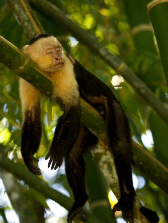 A White-Throated Capuchin Monkey Sleeping on a Bamboo Stalk (Cebus Capucinus) Photographic Print by Roy Toft